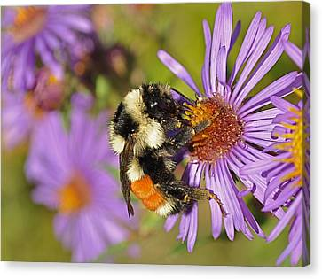 Bumblebee On Aster Canvas Print