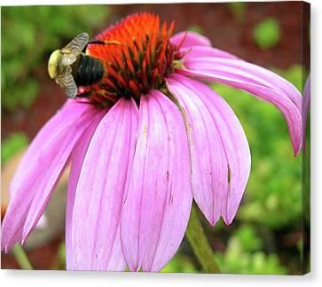 Bumblebee On Coneflower Canvas Print by Randy Rosenberger