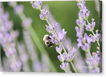Canvas Print featuring the photograph Bumblebee On The Lavender Field 2 by Andrea Anderegg