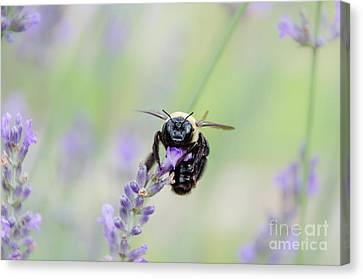 Canvas Print featuring the photograph Bumblebee On The Lavender Field by Andrea Anderegg