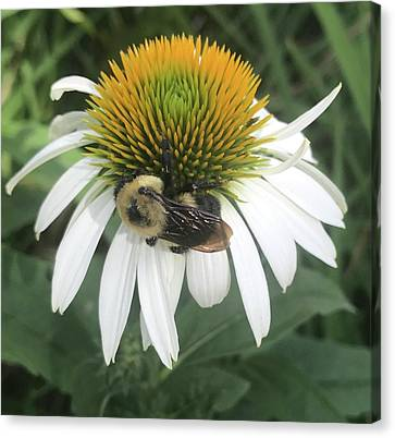 Flowerrs Canvas Print - Bumblebee On White Coneflower by Ruth Owen Fine Art and Photography