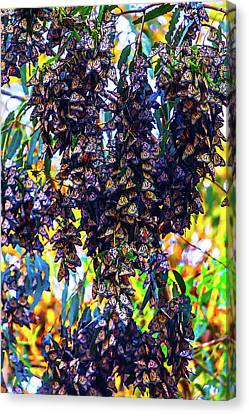 Bunches Of Monarchs Canvas Print