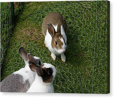 Bunnies Canvas Print by Lisa Hebert