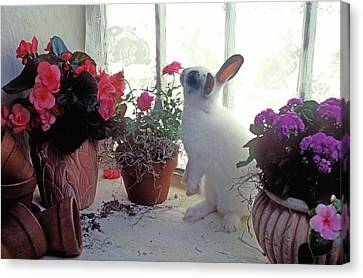 Bunny In Window Canvas Print by Garry Gay