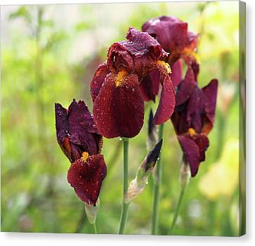Burgundy Bearded Irises In The Rain Canvas Print by Rona Black