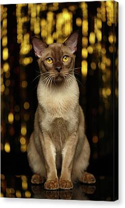 Burmese Cat Sits On New Year Background Canvas Print by Sergey Taran