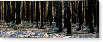 Burnt Pines Canvas Print