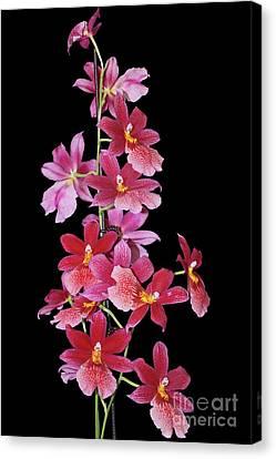 Burrageara Nelly Isler, Swiss Beauty Canvas Print