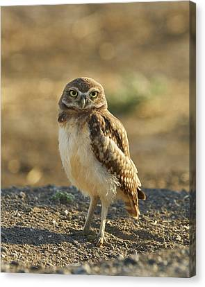 Burrowing Owl #6 Canvas Print by Doug Herr