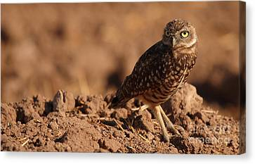 Burrowing Owl Looking Back Over Shoulder Canvas Print by Max Allen
