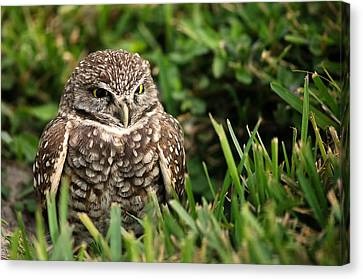 Burrowing Owl Canvas Print by Mandy Wiltse