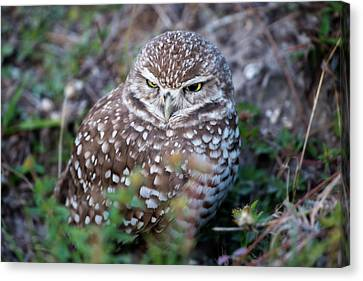 Burrowing Owl Outside Of Her Nest Canvas Print by Dan Friend