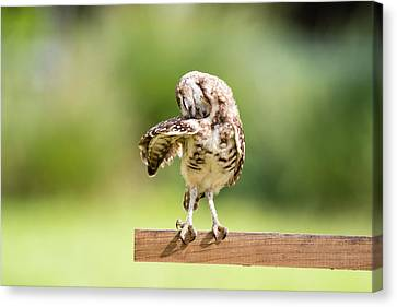 Burrowing Owl Stretching Canvas Print