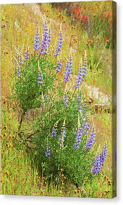 Canvas Print featuring the photograph Bush Lupine by Ram Vasudev