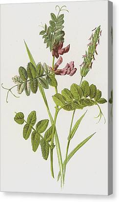 Bush Vetch And Sweet Scented Vernal Grass Canvas Print by Frederick Edward Hulme