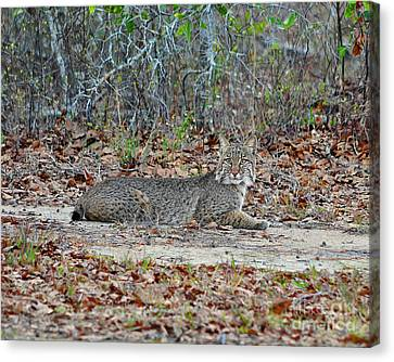 Canvas Print featuring the photograph Bushed Bobcat by Al Powell Photography USA