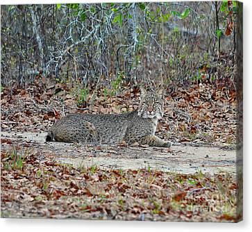 Bushed Bobcat Canvas Print by Al Powell Photography USA