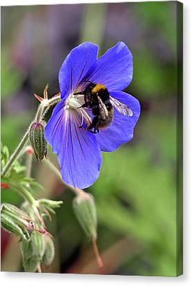 Busy Bee On A Blue Geranium Canvas Print