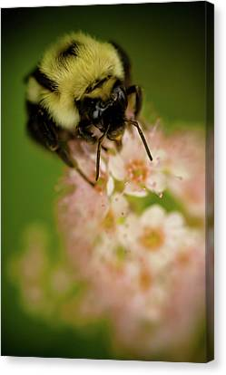 Busy Bee Canvas Print by Sebastian Musial