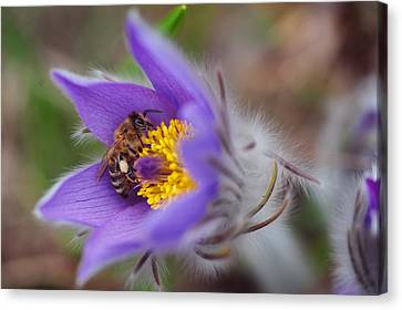 Busy Busy Bee On Pasqueflower Canvas Print by Jenny Rainbow