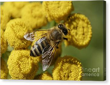 Busy Honey Bee Canvas Print by John  Mitchell