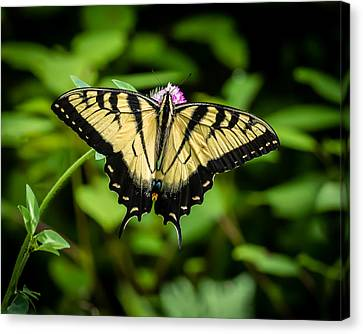 Butter Fly Canvas Print by Gary Migues