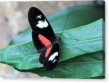 Butterflies Are Blooming 25 Canvas Print by Debra  Miller