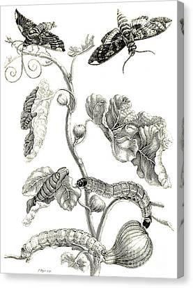Butterflies, Caterpillars And Plant Canvas Print