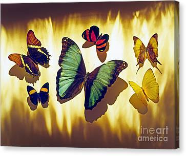 Butterflies Canvas Print by Tony Cordoza
