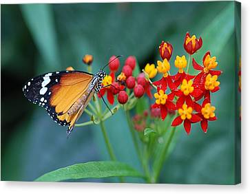 Butterfly 03. Canvas Print by Francois Cartier