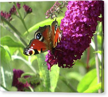 Peacock Butterfly  Canvas Print by The Rambler