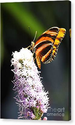Butterfly 2 Canvas Print by Tom Prendergast