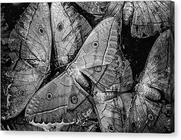 Butterfly #2056 Bw Canvas Print