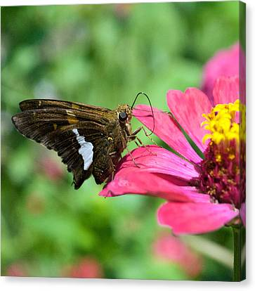 Butterfly 8-5 Canvas Print
