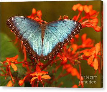 Butterfly Among The Flowers Canvas Print by Max Allen