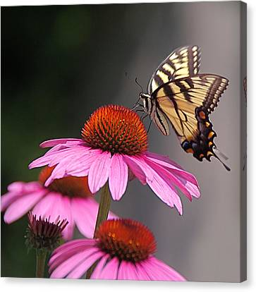 Butterfly And Coneflower Canvas Print