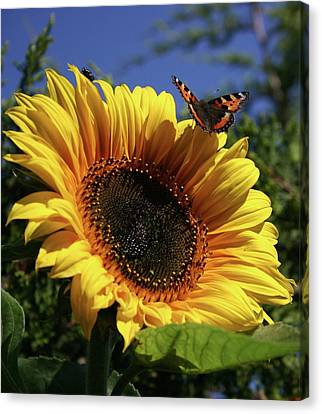 Butterfly And Sunflower Canvas Print by Martina Fagan