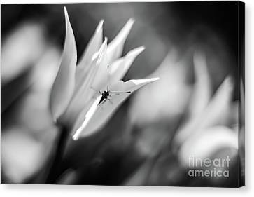 Butterfly And Tulip Bw Canvas Print by Vadim Tsymbalyuk