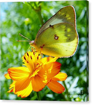 Butterfly And Yellow Cosmo Flower Canvas Print by Judy Via-Wolff