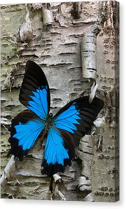 Butterfly Canvas Print by Andreas Freund