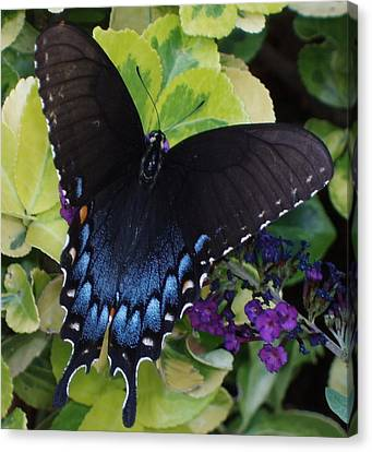 Canvas Print featuring the photograph Butterfly Beauty Brown And Blue 2 by Kicking Bear  Productions