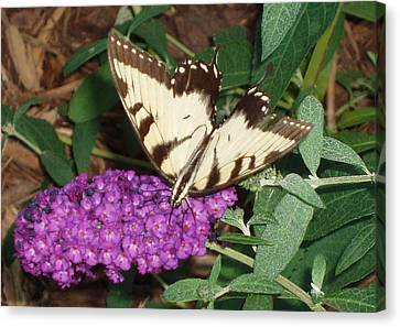 Canvas Print featuring the photograph Butterfly Beauty Yellow by Kicking Bear  Productions