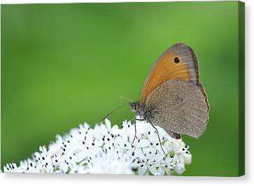 Canvas Print featuring the photograph Butterfly by Bess Hamiti