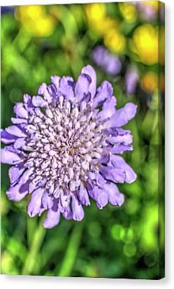 Butterfly Blue Pincushion Flower Canvas Print - Butterfly Blue Pincushion Flower by Royal Photography