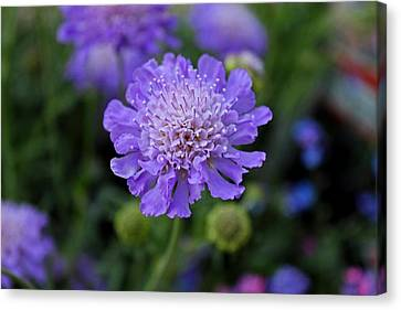 Butterfly Blue Pincushion Flower Canvas Print - Butterfly Blue Pincushion by Michiale Schneider