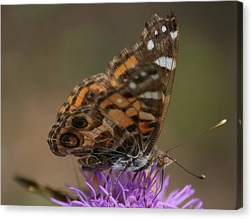 Canvas Print featuring the photograph Butterfly by Cathy Harper