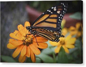 Butterfly Canvas Print by Christina Durity