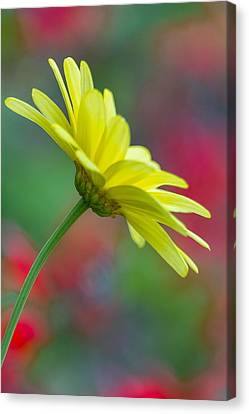 Butterfly Daisy Canvas Print