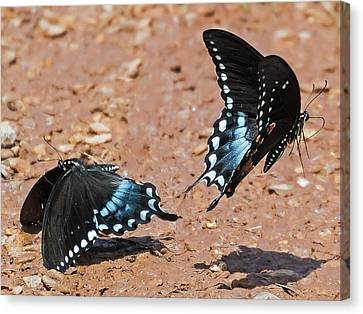 Canvas Print featuring the photograph Butterfly Dance by Ron Dubin