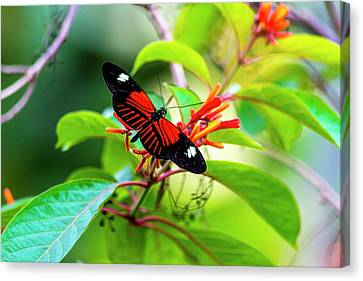 Canvas Print featuring the photograph Butterfly  by David Morefield